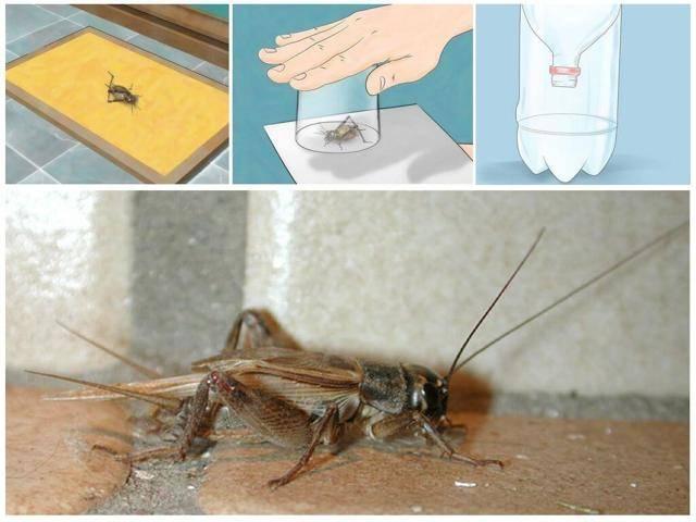 Топ 16 методов, как избавиться от сверчка в квартире и доме