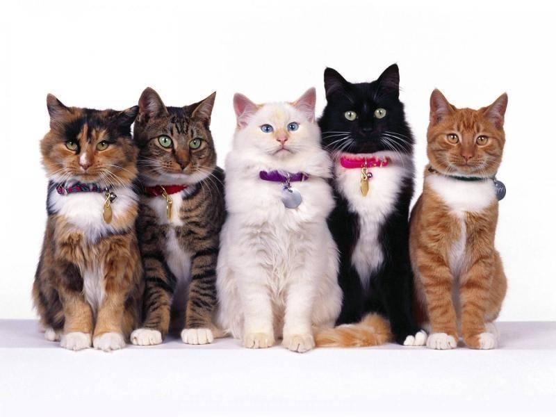 Рейтинг ошейников от блох для кошек: критерии выбора и правила применения