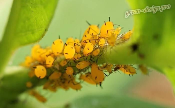 Бабочка пяденица и ее гусеница. бабочки пяденицы – вредители садовых, ягодных, декоративных культур