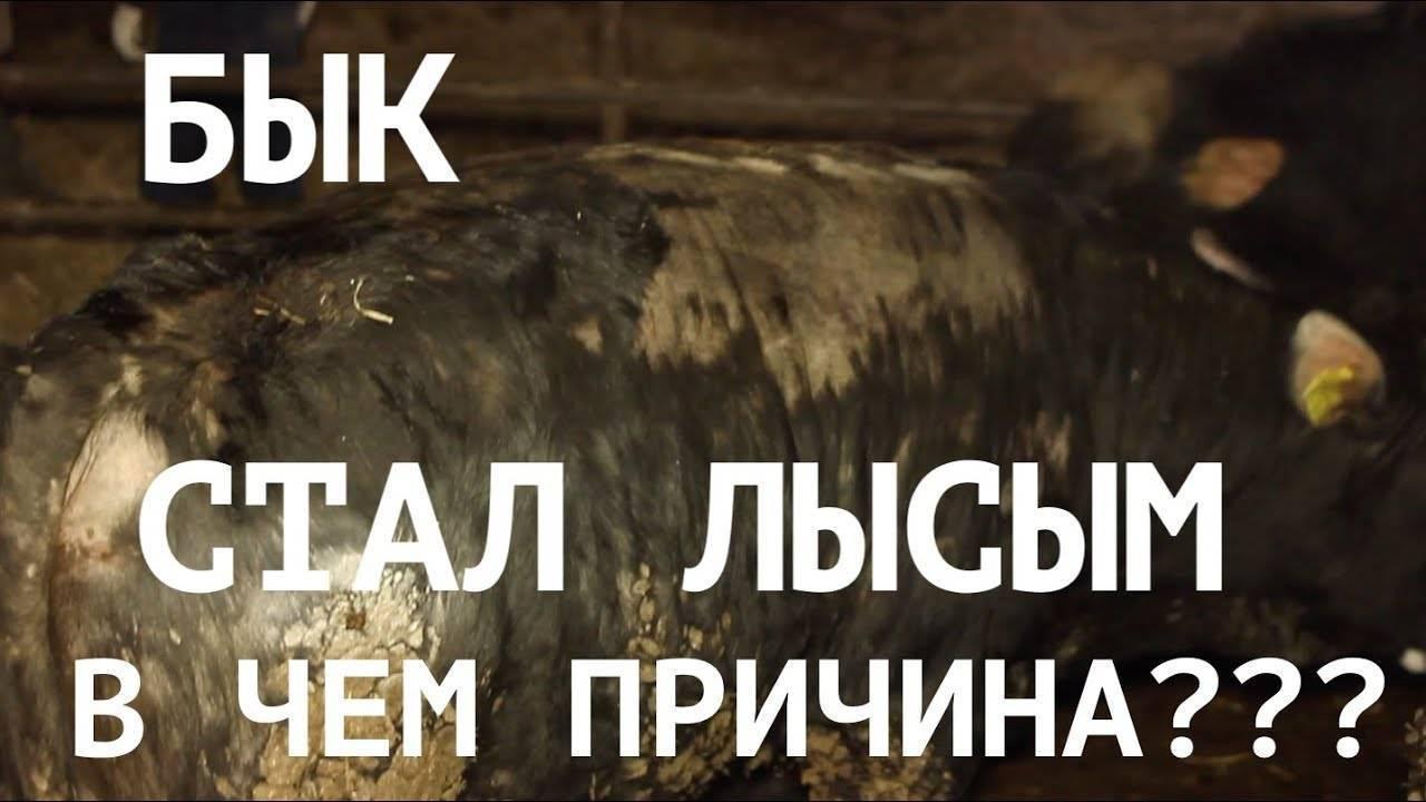 Вши у коров и телят: лечение, профилактика, народные средства, ветеринарная служба владимирской области