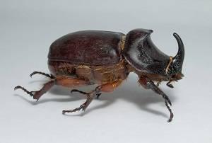 Жук-носорог — интересные факты о насекомом