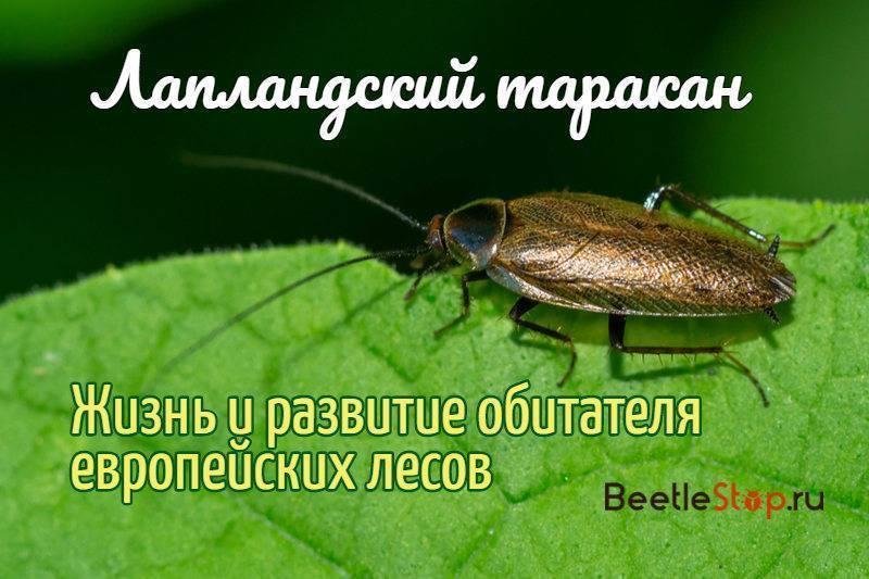 Лапландский таракан— усатый житель лесной подстилки