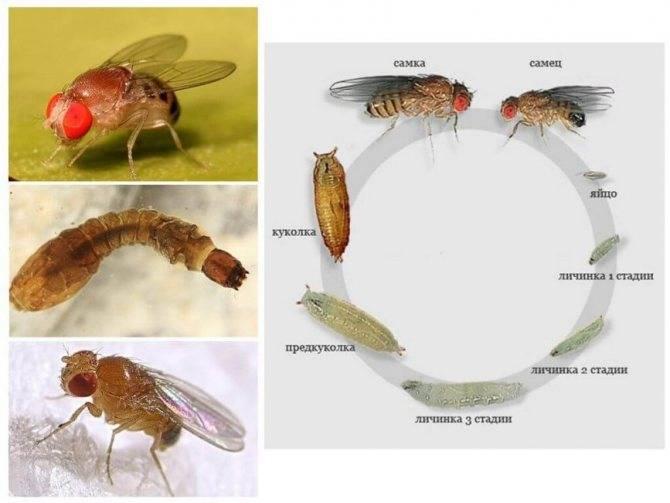 Чем питаются мошки и их личинки