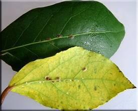 Как определить, что на растении появился опасный вредитель – щитовка