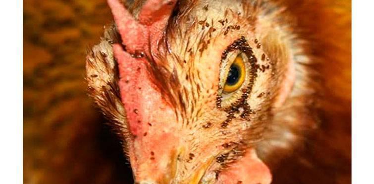 Куриные блохи: откуда они берутся и как от них избавиться
