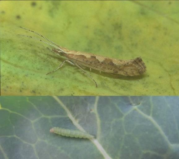 Капустная моль – как с ней бороться? народные средства и инсектициды