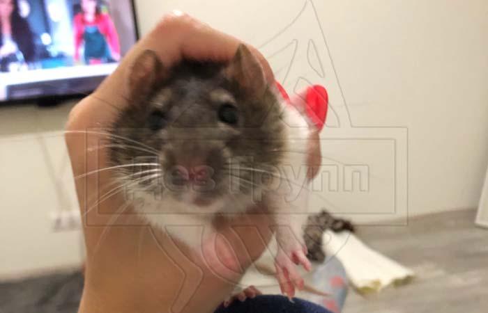 Крыса в унитазе – пути решения проблемы