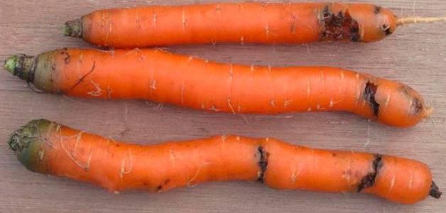 Морковь и её враги. вредители моркови