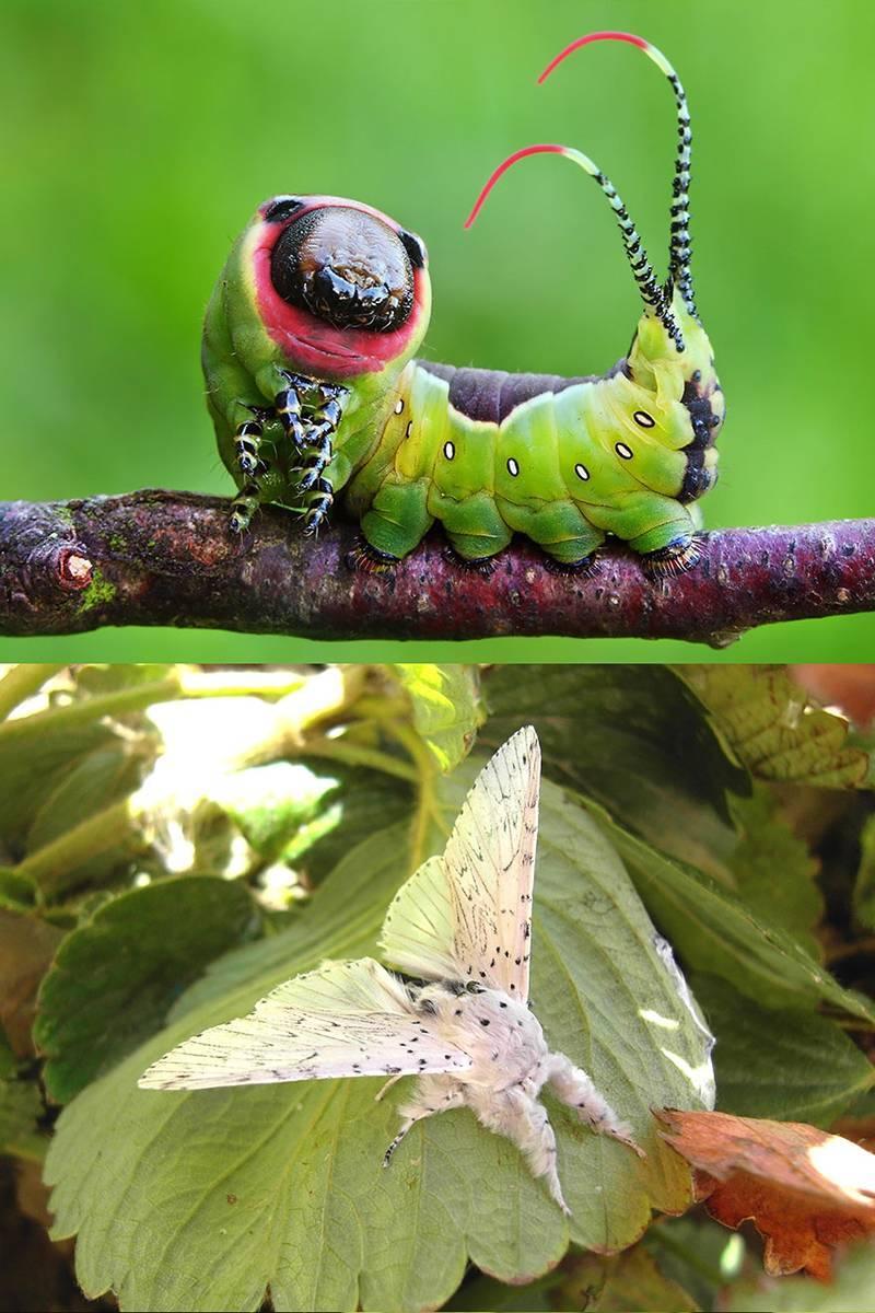 Превращение из гусеницы в бабочку крапивницу