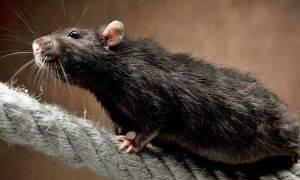 Чем примечательна гамбийская крыса и почему у нее появляется все больше поклонников?