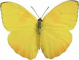 Бабочка репейница: фото, описание, ареал распространения