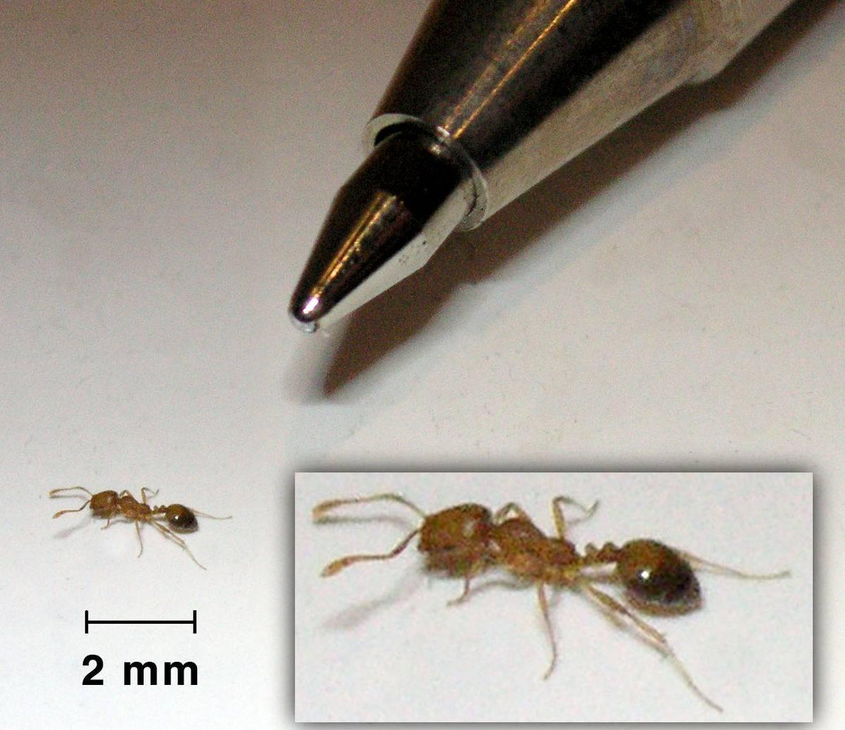 Список видов муравьёв россии