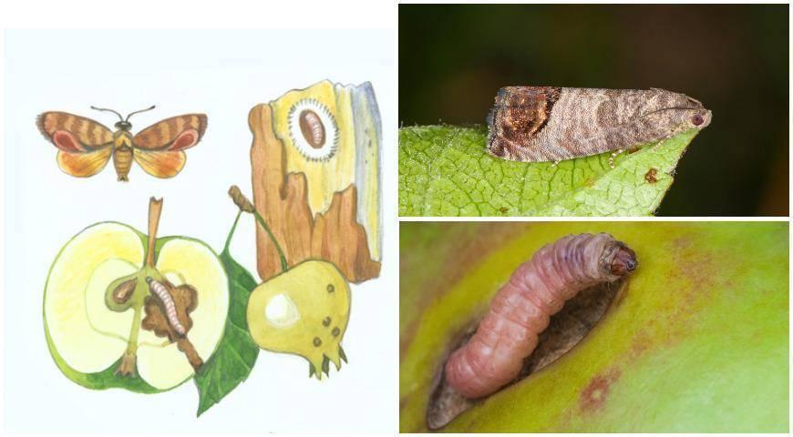 Яблоневая плодожорка и ее сородичи