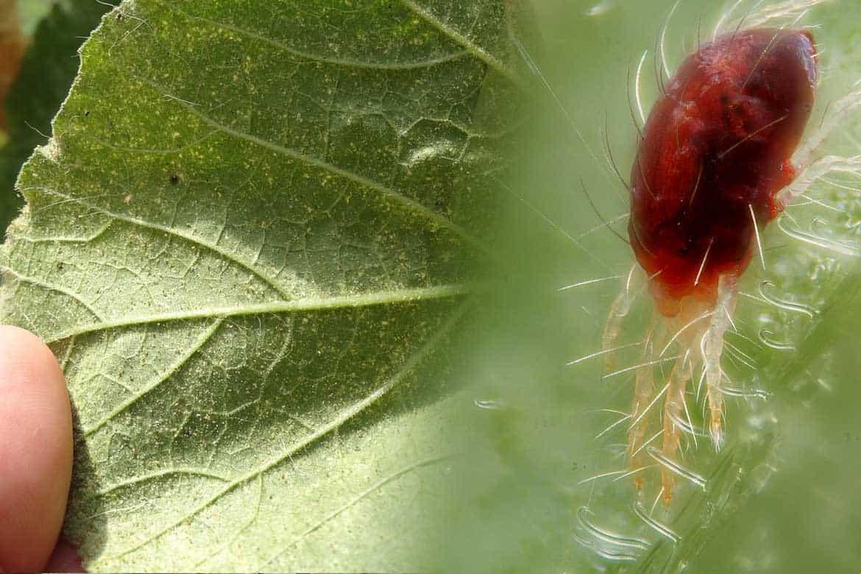 Борьба в теплице: паутинный клещ на огурцах, как избавиться от вредителя