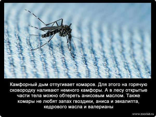 Сколько живет комар: в квартире, после укуса и без крови человека?