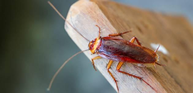 Летают ли тараканы?