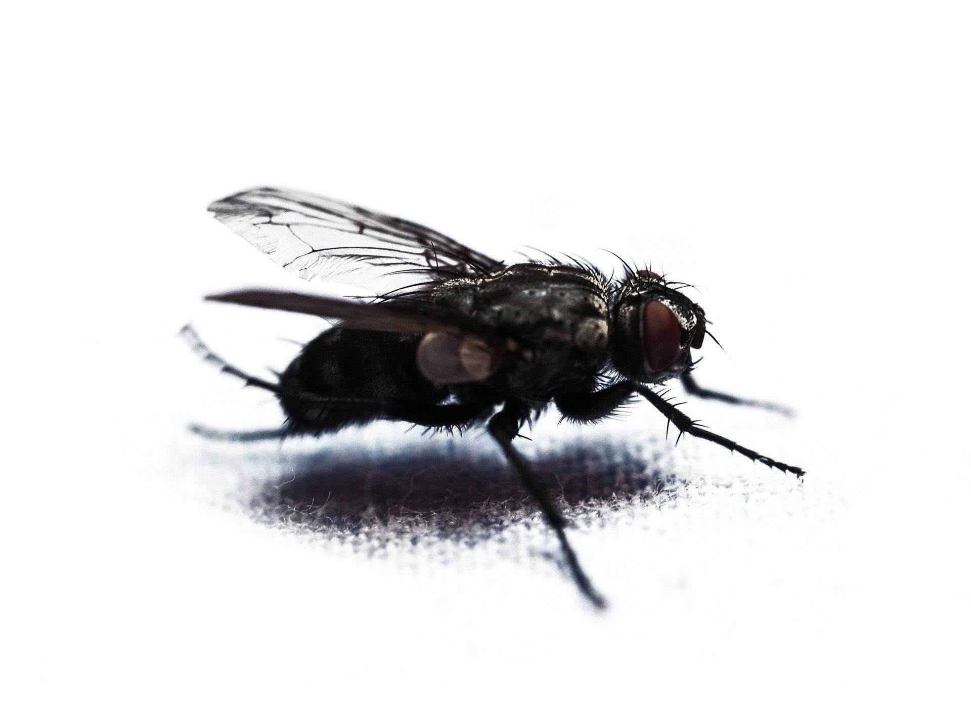 Препарат агита: особенности использования против мух