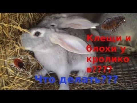 Блохи у кроликов — симптомы и лечение