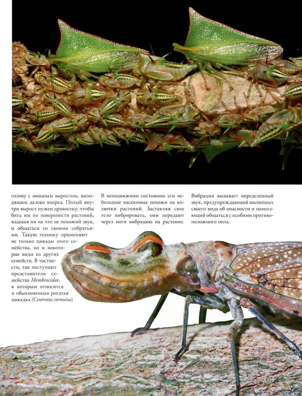 Цикады хорошо приспособлены к питанию соками растений. продолговатая голова причудливой формы характерна для цикадок семейства fulgoridaeв частности для. - презентация