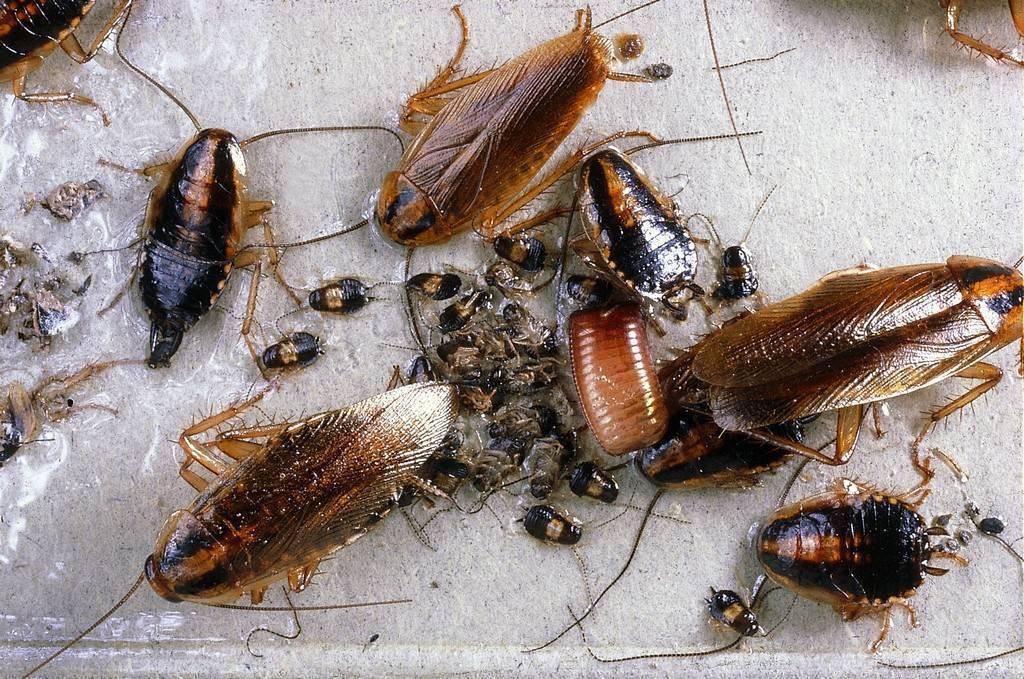 Американские тараканы — образ жизни, питание, размножение