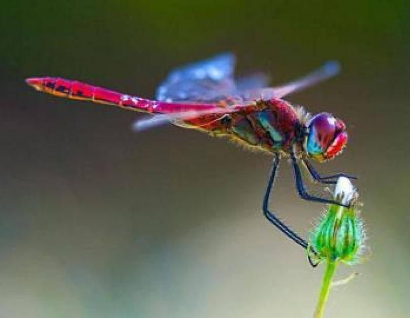 Что за хищник – стрекоза? сколько глаз у стрекозы? тип стрекозы