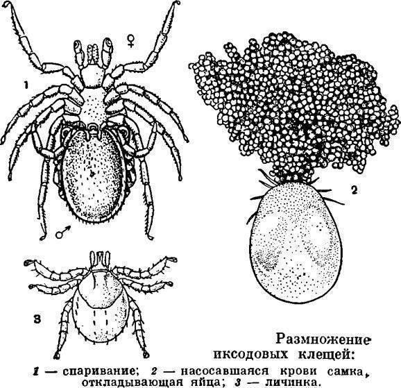 Как выглядят яйца и личинки блох