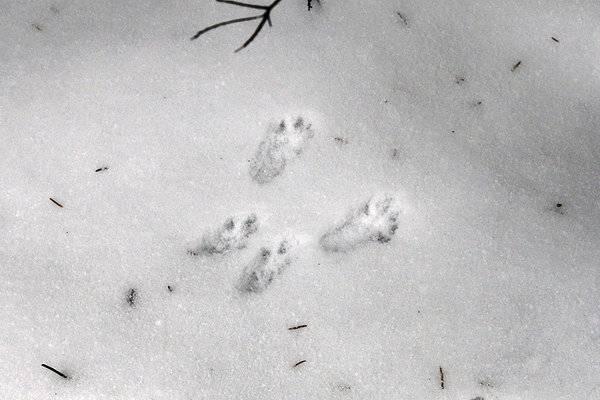 Как выглядят следы крысы на снегу: фото и описание следов (обновлено)