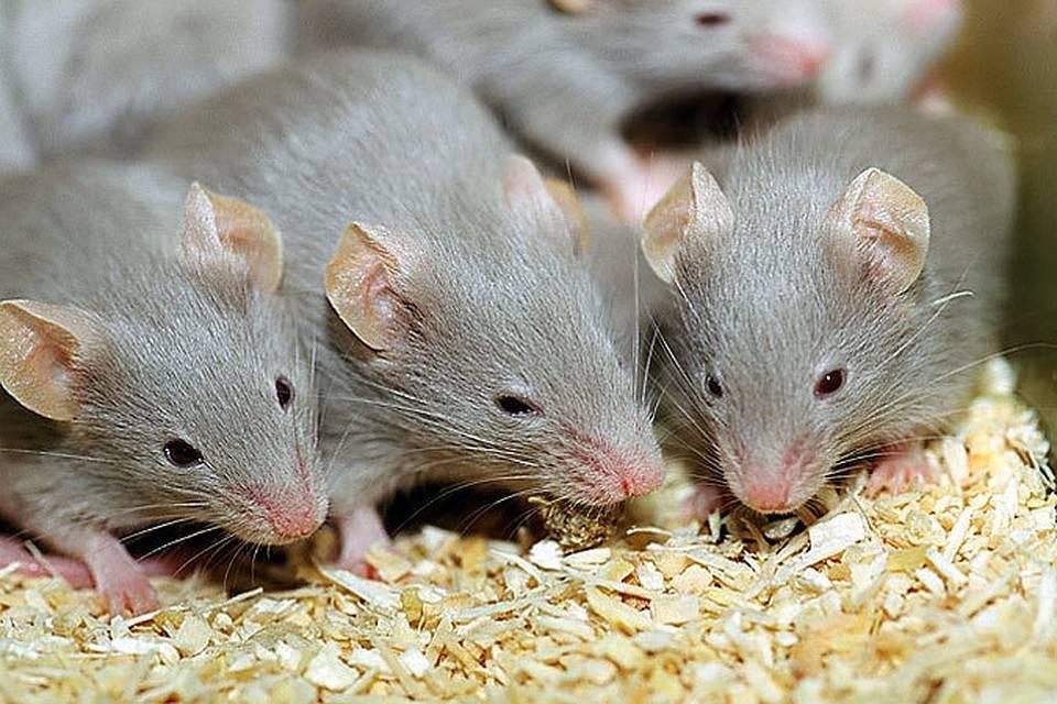 Народные средства, которых мыши боятся больше всего
