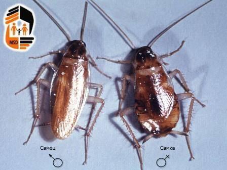 Кто такие тараканы-прусаки и как от них избавиться