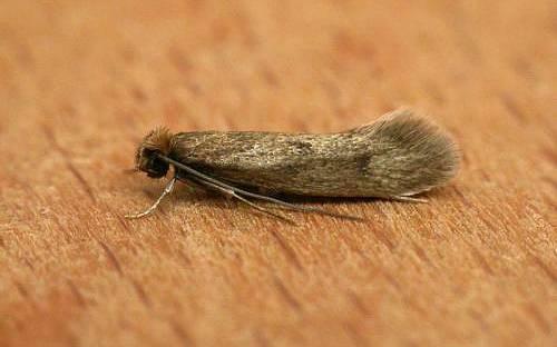 Какие бывают виды моли: описание, как они выглядят личинки и взрослые особи?