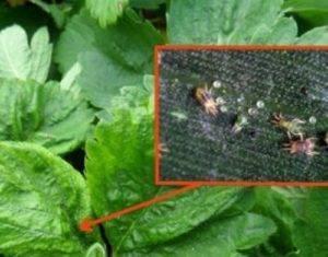 Болезни и вредители клубники: описание с фотографиями и способы лечения, обработка против вредителей