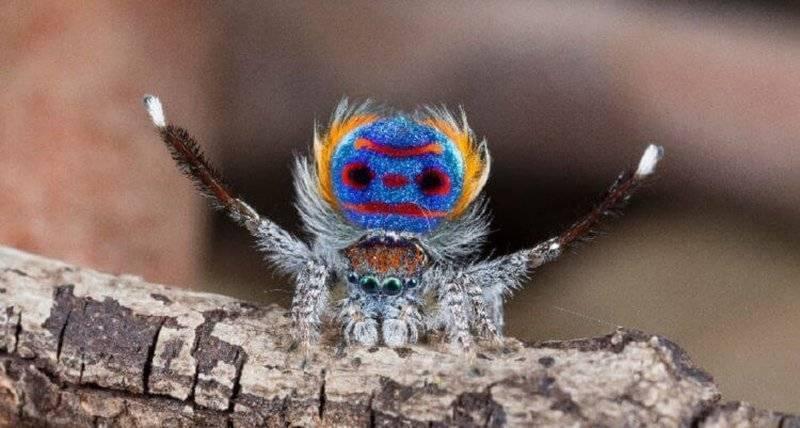 Паук-оса – ядовитое насекомое с яркой внешностью. какой паук похожий на осу паук с желто черными