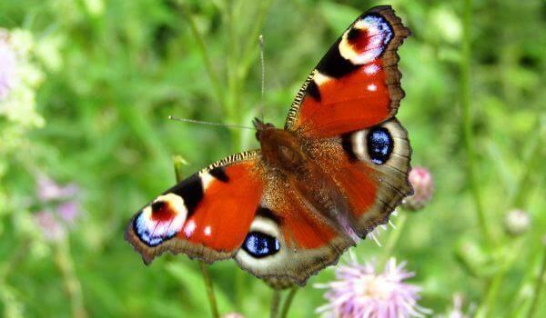 Внешний вид, обитание и питание бабочки павлиний глаз