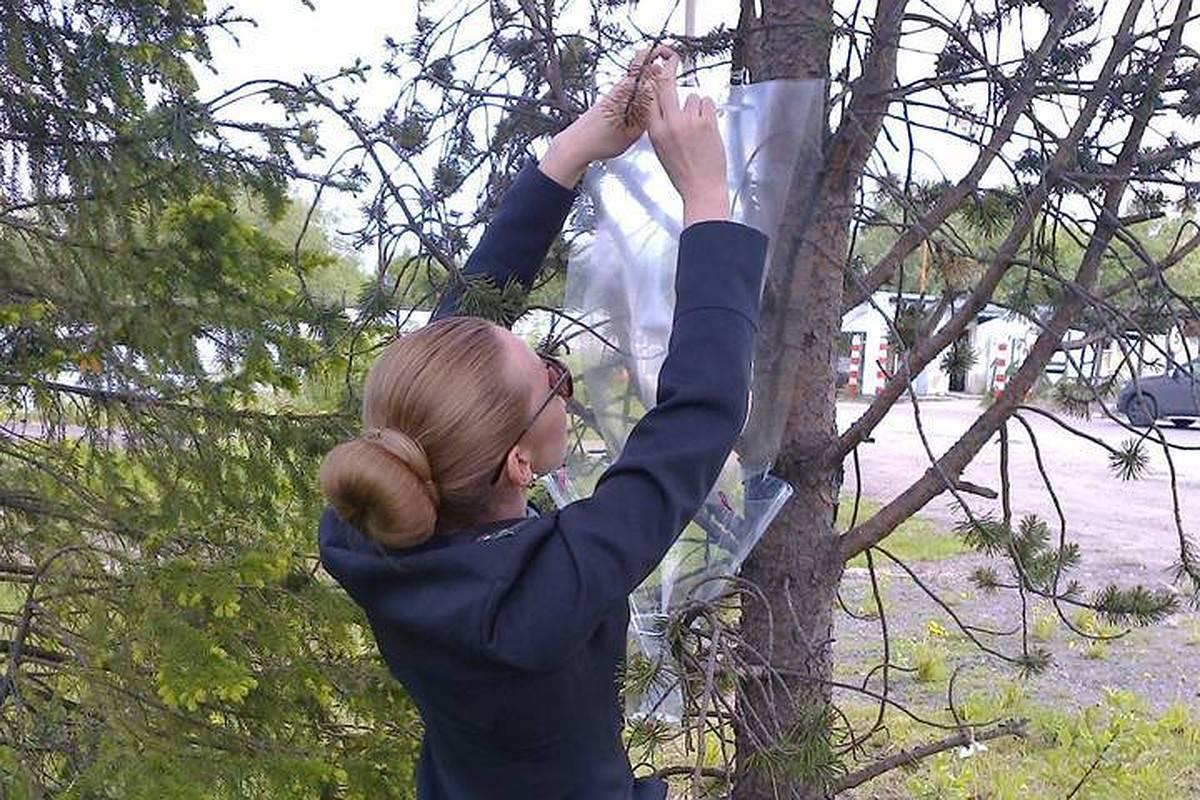 Сосновый усач. черный еловый усач – вредитель хвойных лесов