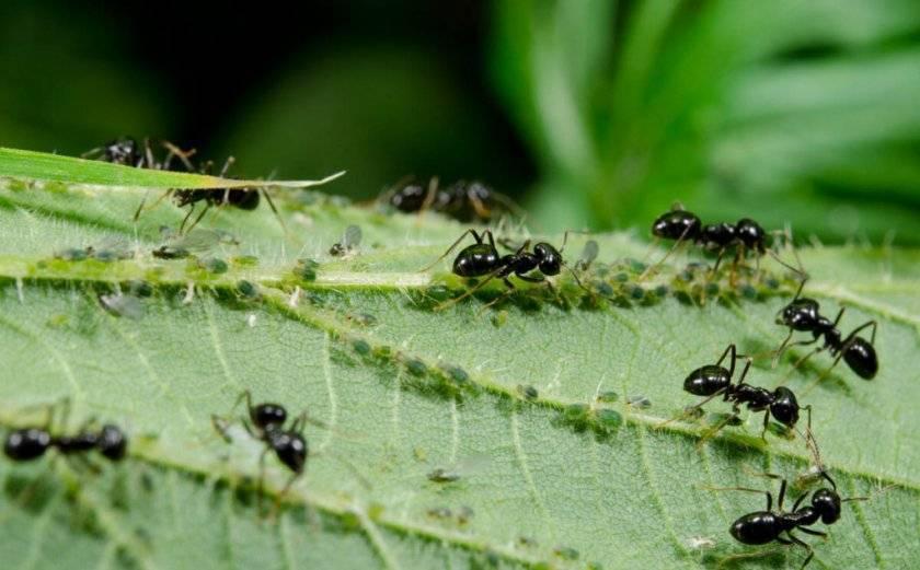 Какие народные средства помогут избавиться от муравьев на смородине?