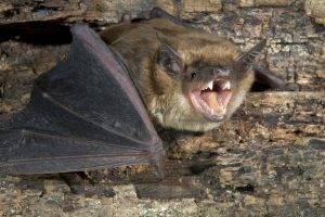Как избавиться от летучих мышей под крышей дома на даче