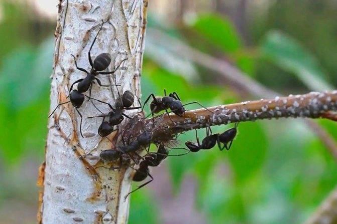 Черные садовые муравьи — как от них избавиться?