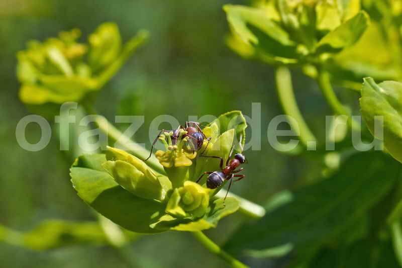 Пшено и манка против муравьёв: принцип действия, применение
