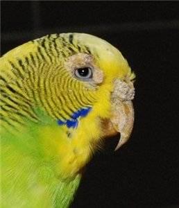Клещи у попугаев: виды, причины, симптомы, лечение