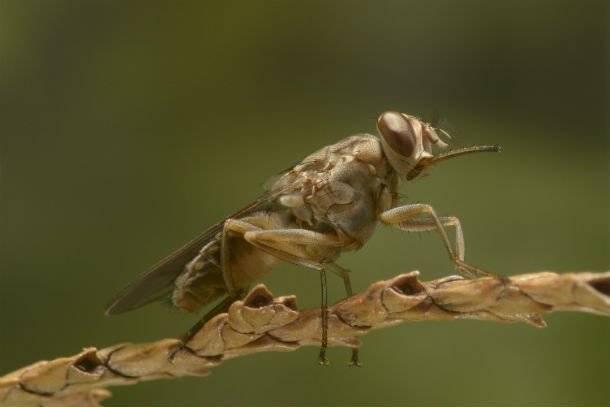 Муха цеце — почему встреча с этим насекомым может закончится плачевно