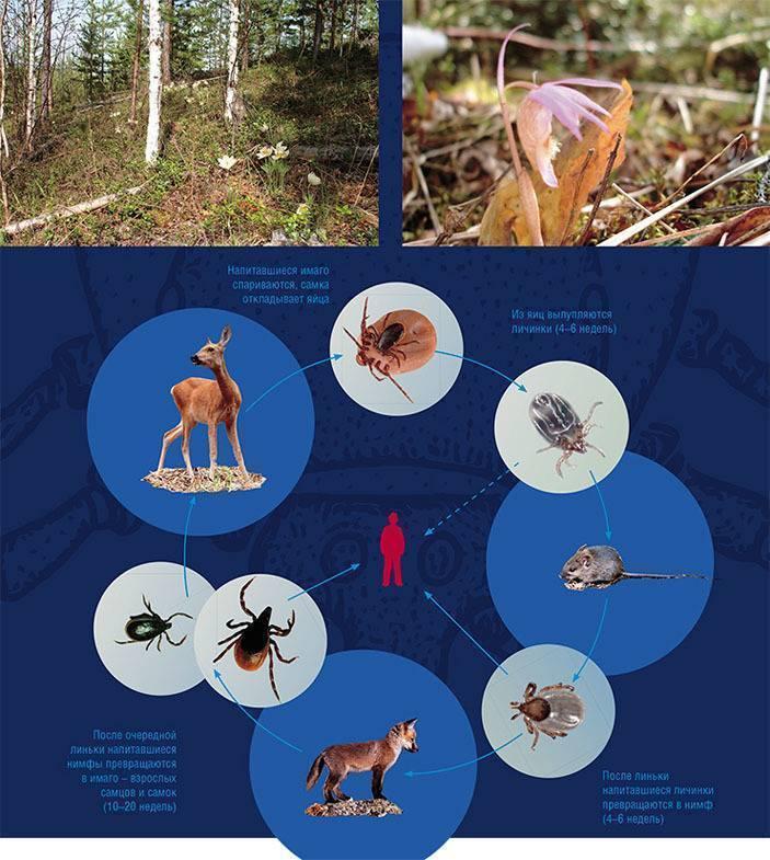 Чем опасны водяные клещи, их среда обитания, внешний вид и физиология