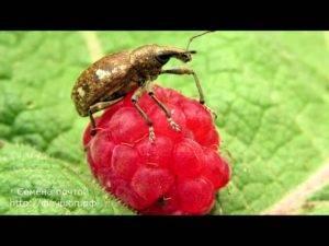 Как избавиться от долгоносика на клубнике? борьба с долгоносиком на клубнике народными средствами во время цветения