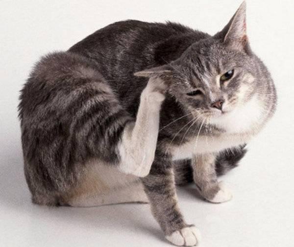 Как вылечить кошку от ушного клеща