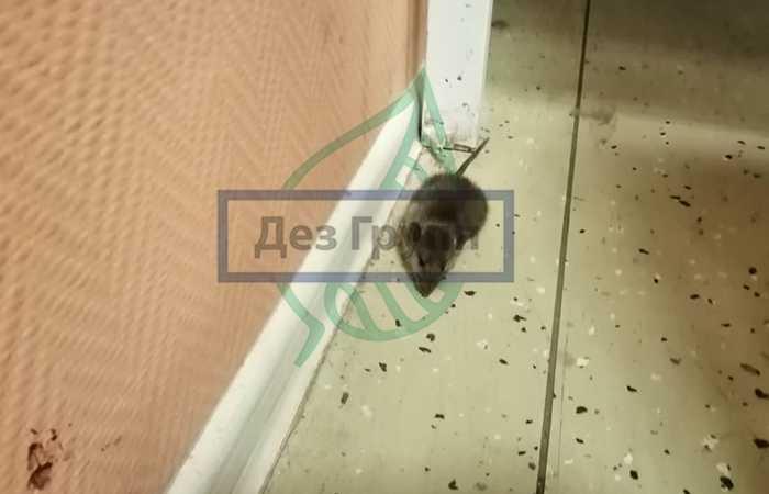 Как избавиться от запаха мышей в доме?