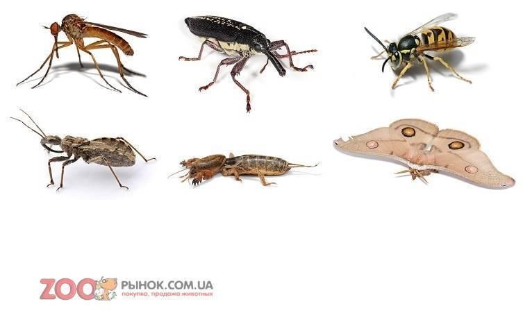 Мясная муха – фото и описание, размножение и как борться