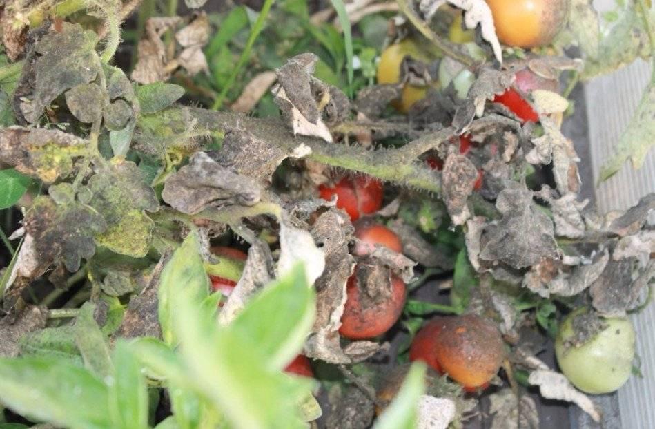 Чем опрыскать клубнику от вредителей, если на ней уже ягоды