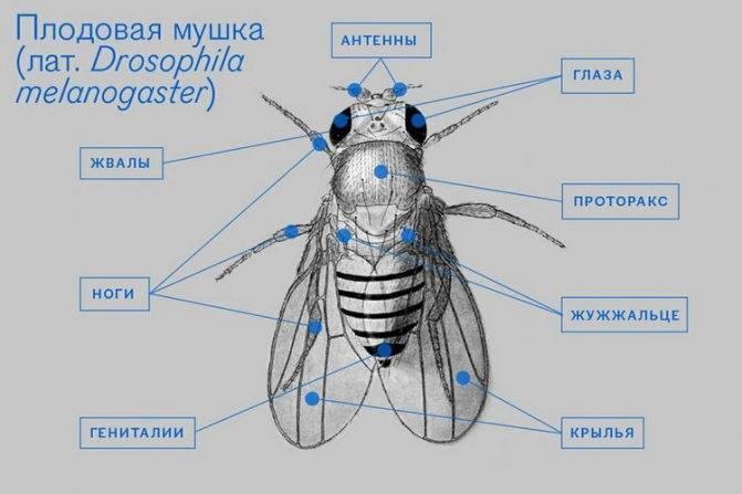 Муха цеце – тихий убийца из африки