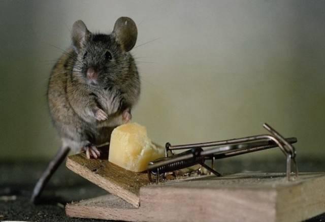 Как избавиться от мышей в доме народными средствами