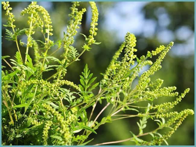 Долгоносик клубеньковый полосатый — злостный враг бобовых культур
