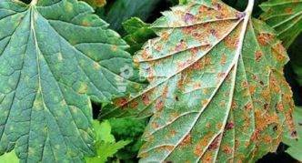 Болезни и вредители смородины: лечение и профилактика